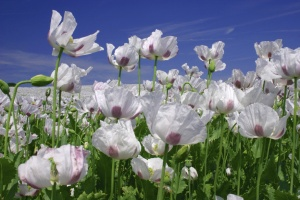 File:WhitePoppyField.jpg